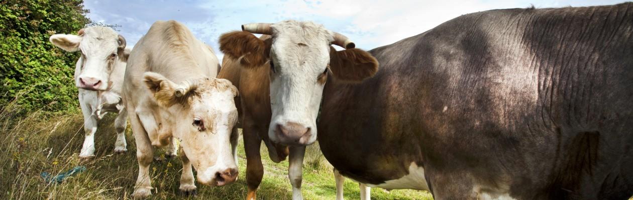 Livestock Program